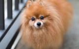 Wenn man genau hinsieht, erkennt man, dass es sich um einen älteren Pomeranian handelt