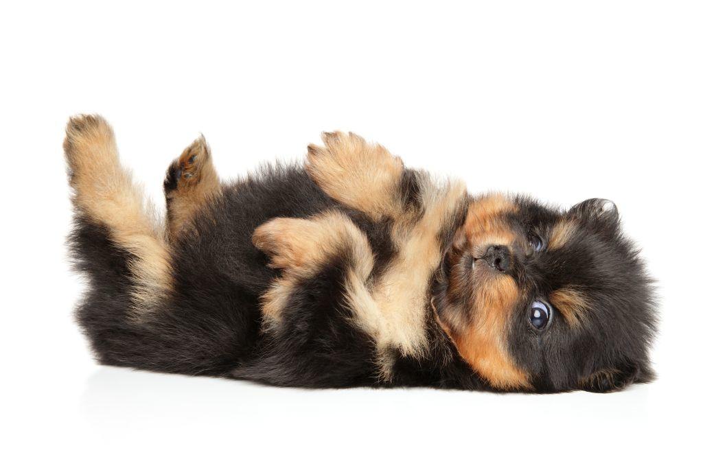 Ein Pomeranian-Welpe beim Räkeln