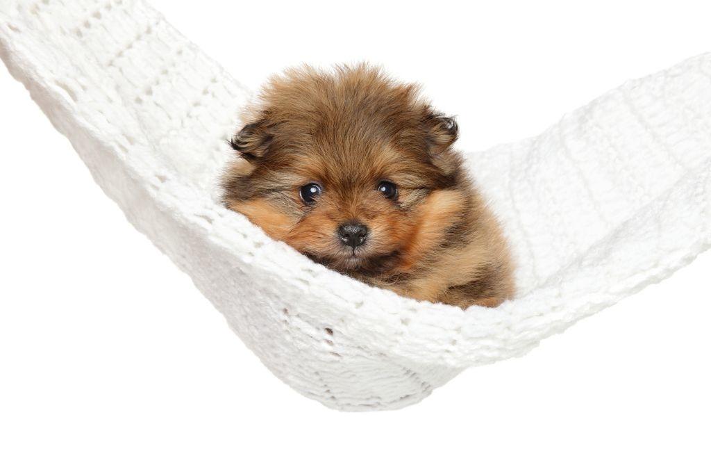Pomeranian-Welpen wieder weggeben, ist gar nicht so einfach