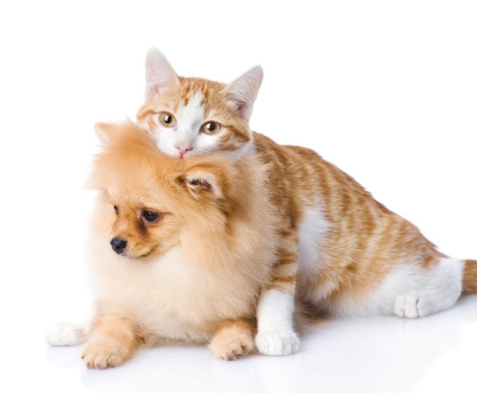 Pomeranian und Katze können sehr gut miteinander auskommen