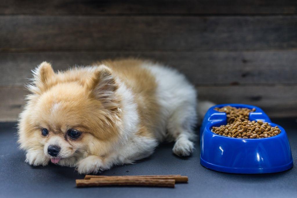 Das Futter sollte hochwertig sein und dem Pomeranian natürlich auch schmecken