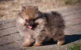 Wer selbst Pomeranians züchten will, hat viel Arbeit vor sich