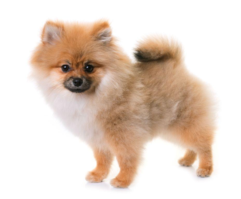 Der Pomeranian ist ein lebhafter und anhänglicher Begleiter
