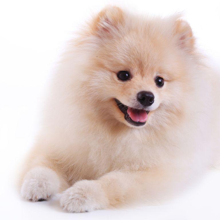 Pomeranian Pflege Wie Sie Ihren Zwergspitz Gesund Halten