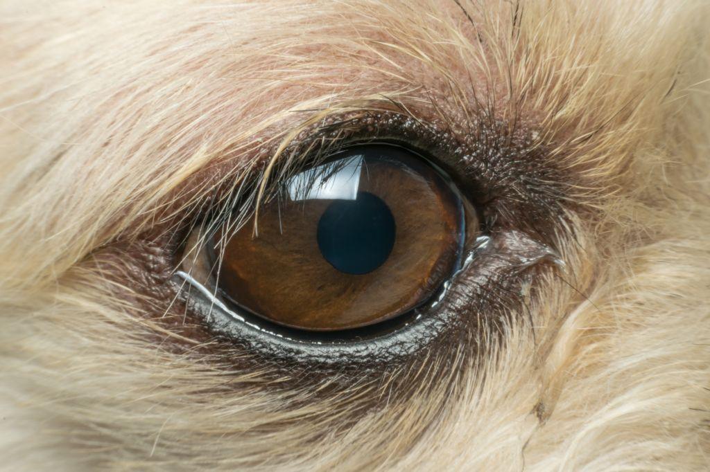 Hundeaugen sind sehr empfindliche und bedürfen besonderer Aufmerksamkeit