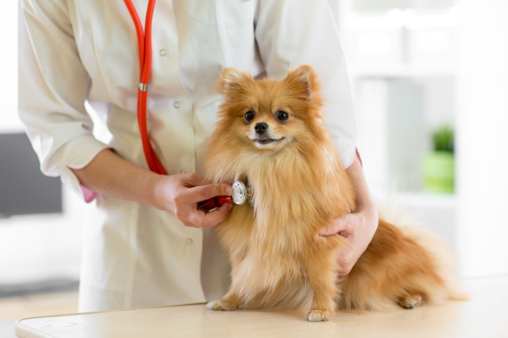 Pomeranian beim Tierarzt
