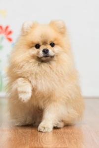 Pfötchen geben ist für den gelehrigen Pomeranian ein Klacks