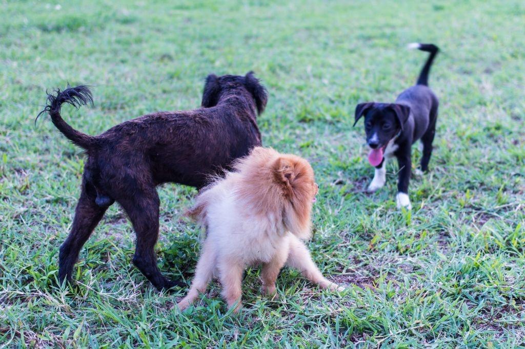 In der Hundeschule lernt der Pomeranian auch den Umgang mit anderen Hunden