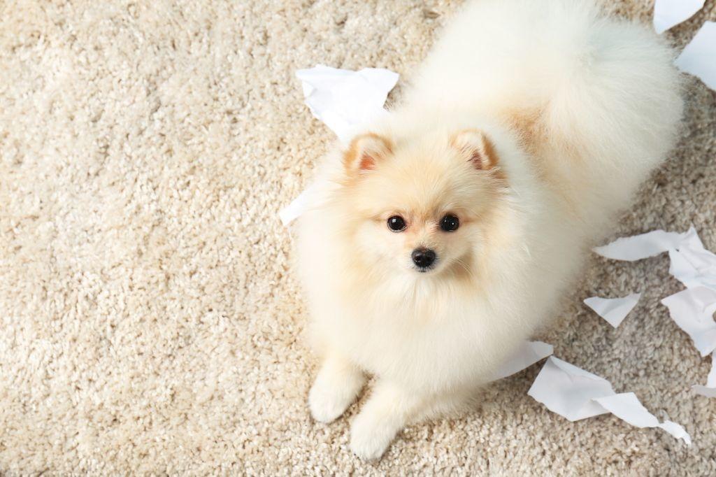 Verbotenes Verhalten sollten Sie immer tadeln, auch wenn der Pomeranian dabei noch so drollig aussieht