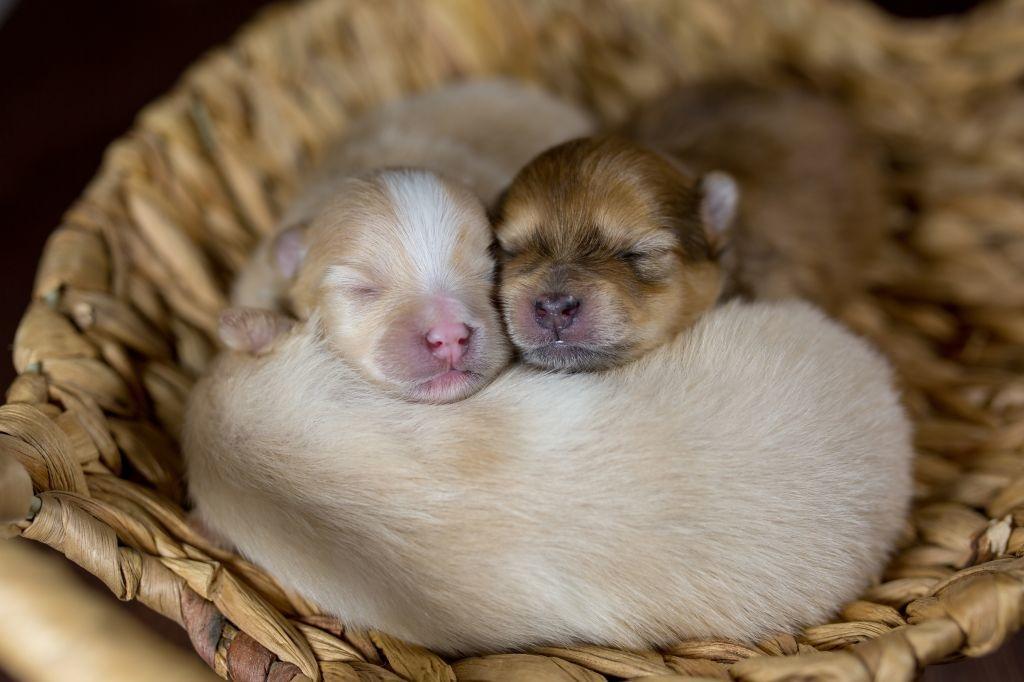 Neugeborene Pomeranians sind winzig und noch vollkommen hilflos