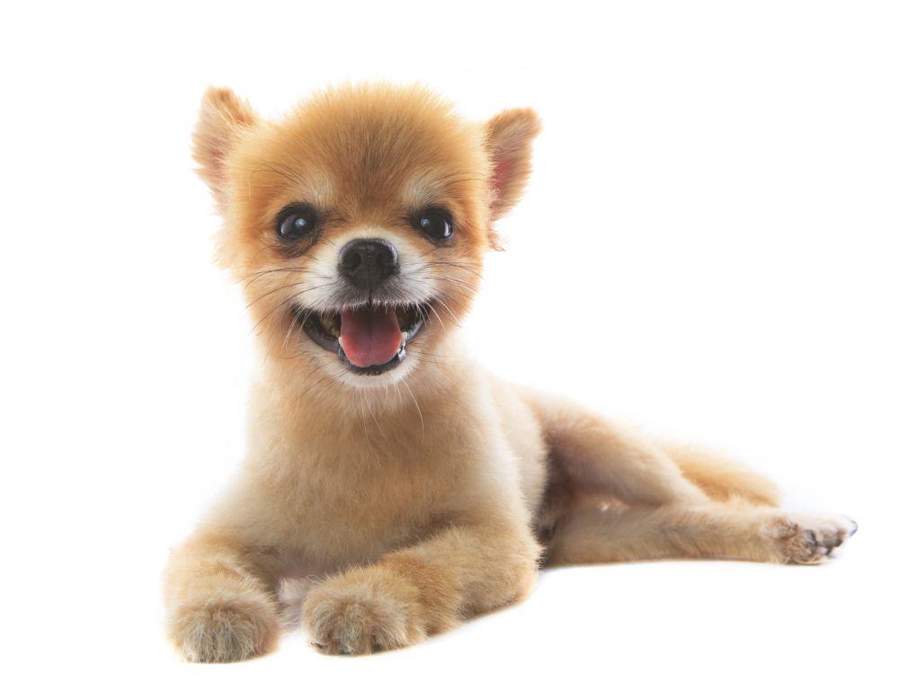 Solch einen schicken Boo-Haarschnitt macht der Hundefriseur