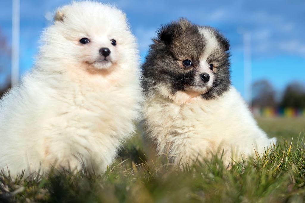 Pomeranian-Welpen