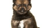 Der Pomsky ist ein Mischling aus Pomeranian und Sibirian Husky