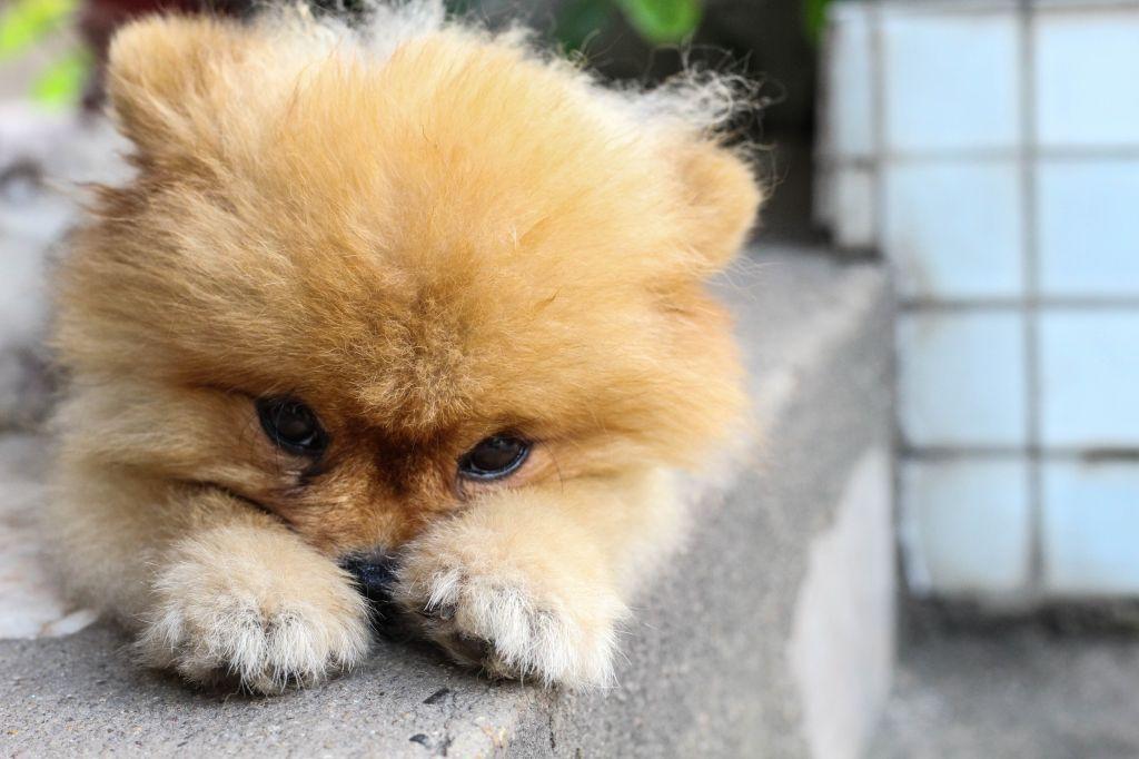 Spätestens wenn der Pomeranian den Kopf hängen lässt, muss Schluss mit Schimpfen sein