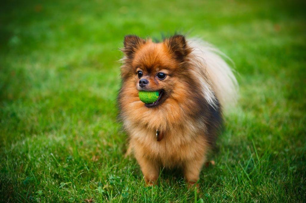 Möglichst viele Bewegungsspiele halten den Pomeranian fit und machen ihm Spaß