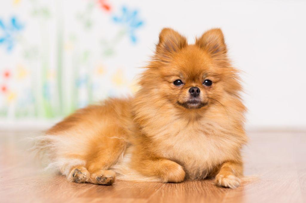Entspannter Pomeranian