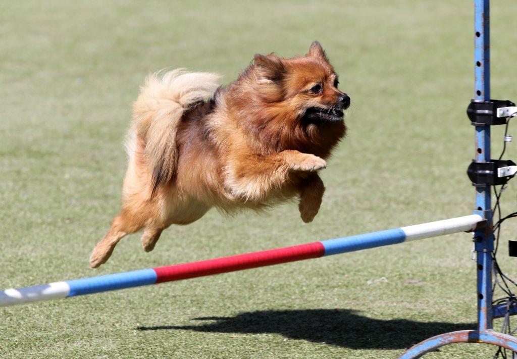 Agility ist für die lernbegierigen und bewegungsfreudigen Pomeranians genau der richtige Sport