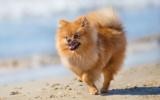 Der Pomeranian liebt Strandspaziergänge
