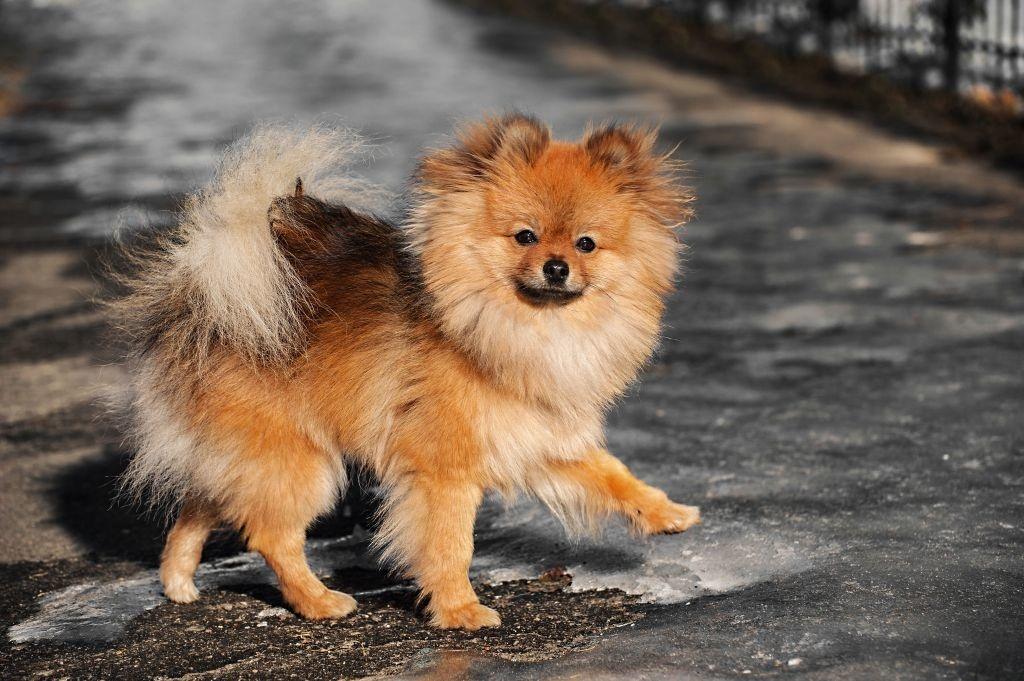 Mindestens einmal am Tag muss für den Pomeranian ein Spaziergang drin sein