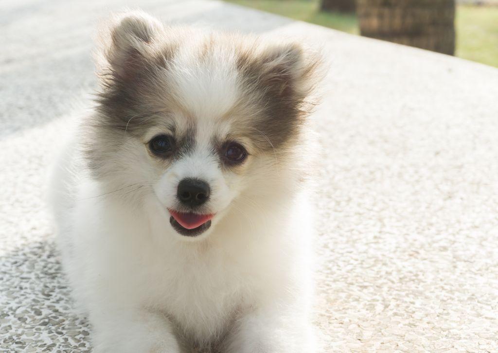 Am besten bleibt der Pomeranian in seinem vertrauten Umfeld