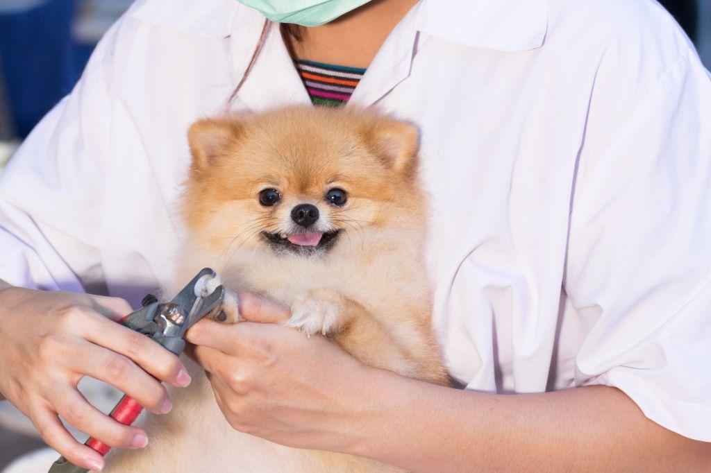 Manche Käufer eines Pomeranians unterschätzen den Pflegeaufwand und sind dann überfordert