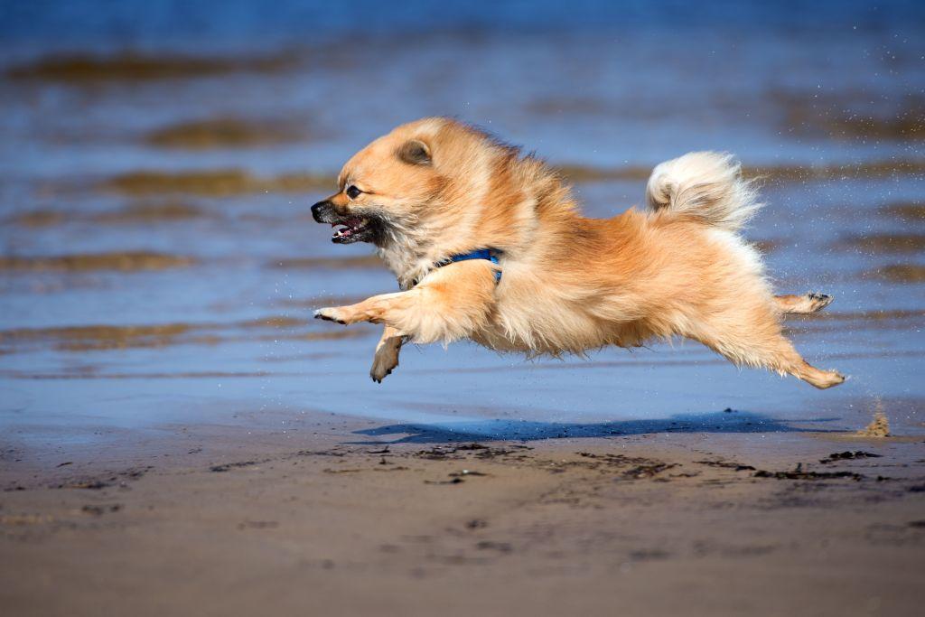 Der Pomeranian bewegt sich viel und gerne
