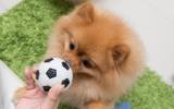 Pomeranian mit Ball