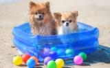 Der Pomeranian will wie andere kleine Hunde auch unbedingt mit in den Urlaub