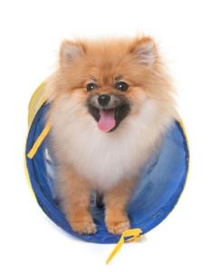 Manche Pomeranians blühen auf, wenn sie durch einen Tunnel krabbeln dürfen