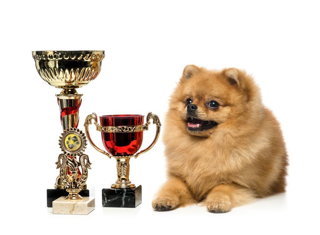 Soll der Pomeranian auf Ausstellungen Erfolg haben, muss er den Rassestandard erfüllen