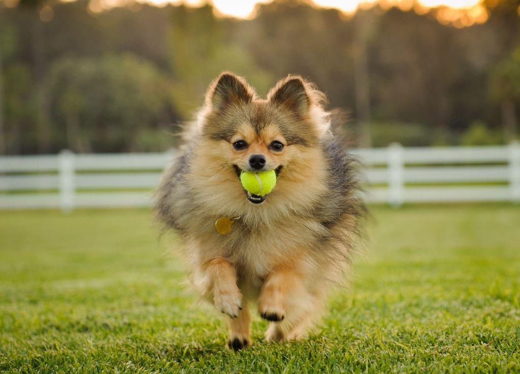 Pomeranians lieben wie alle Hunde Tennisbälle, doch die bergen Gefahren