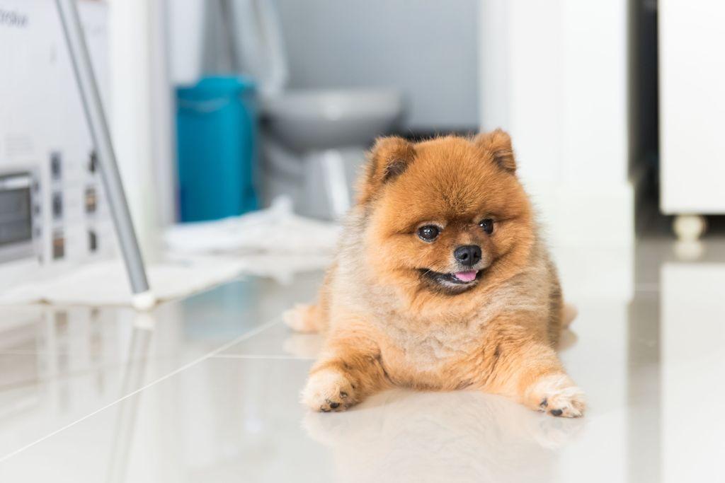 Manchmal dauert es etwas, bis ein Pomeranian wirklich stubenrein ist