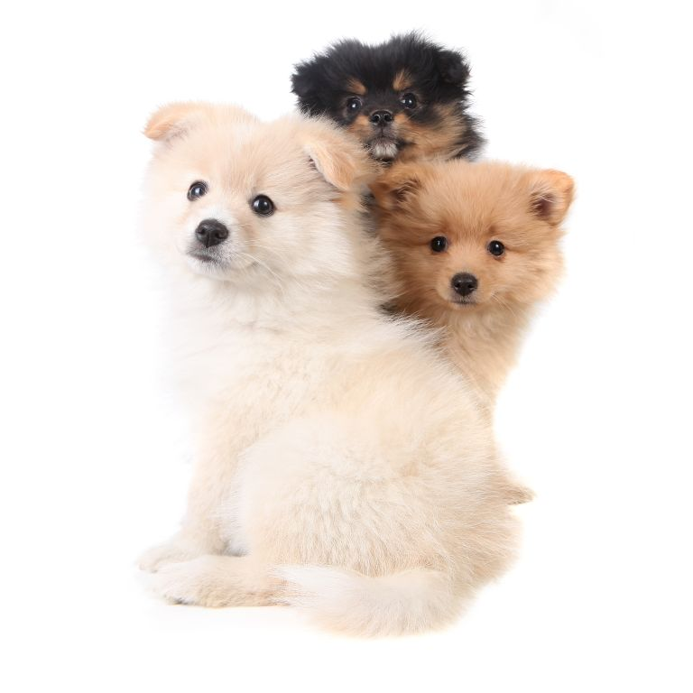 Pomeranian-Welpen warten auf neue Besitzer