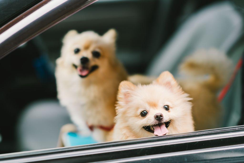 Diese beiden Pomeranians haben kein Problem mit einer langen Autofahrt. Fehlt nur noch eine angemessene Sicherung