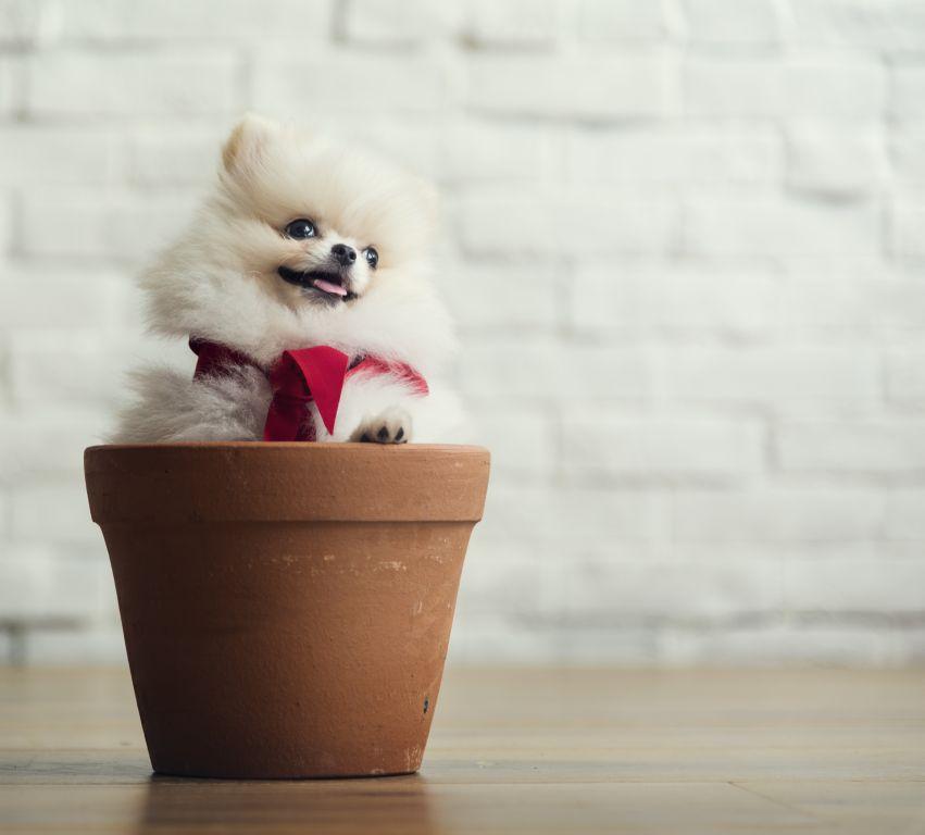 Extrem kleine Pomeranians sind meistens krank und haben nur eine geringe Lebenserwartung