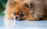 Trauriger Pomeranian
