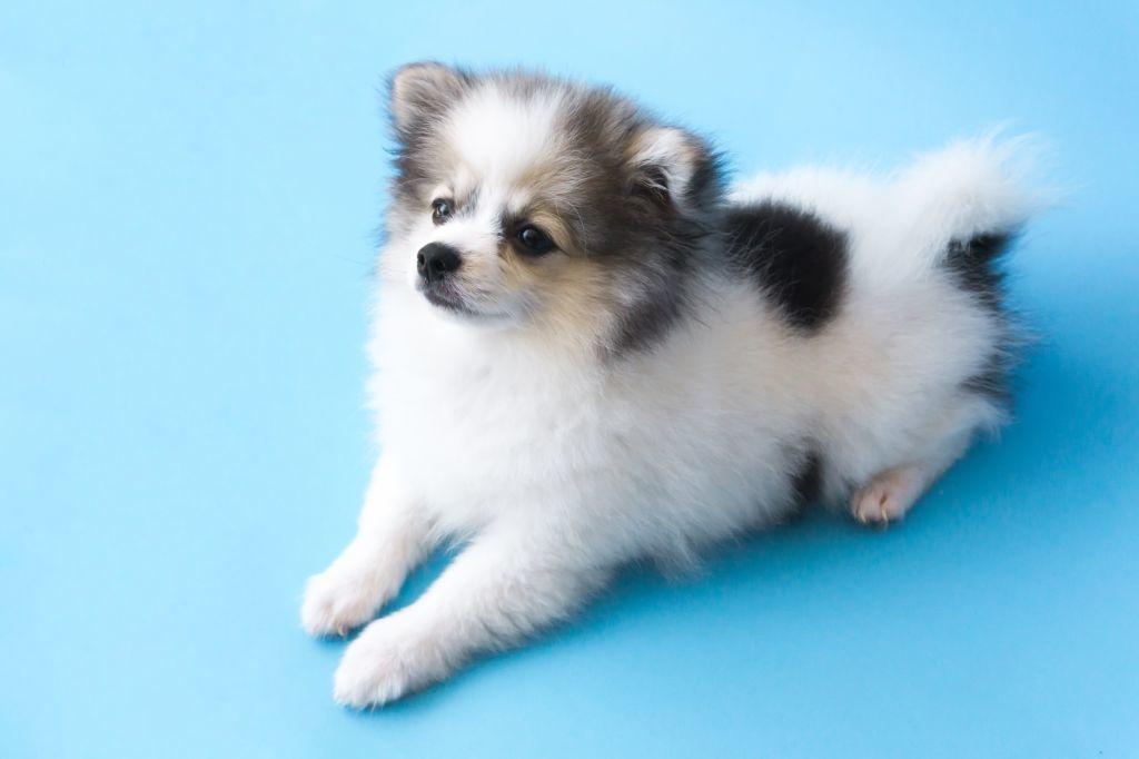 Ein Pomeranian mit einer schlimmen Vergangenheit braucht besonders viel Liebe und Zuwendung