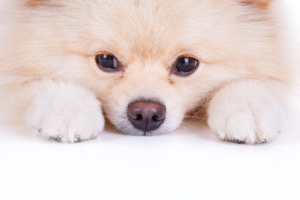 Pomeranian-Welpe